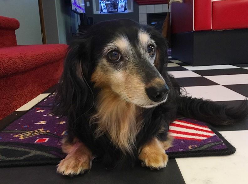 Rudy the dachshund
